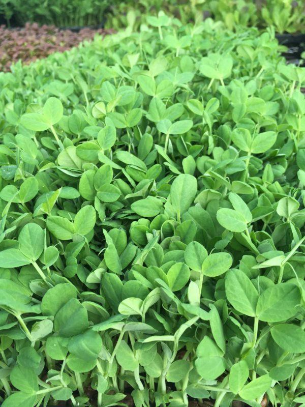 Bentum Family Farm Pea Shoots - 1/4 lb 3