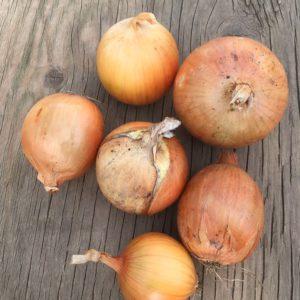 Bentum Family Farm Cooking Onions – 2lbs